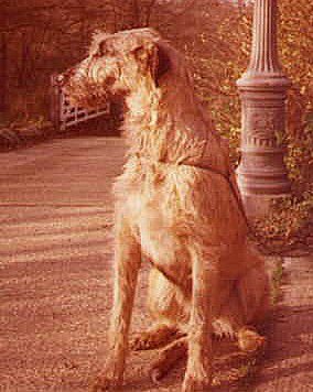 Redgold wolfhound