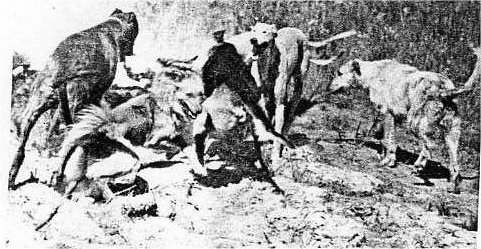 Early wallaby killing