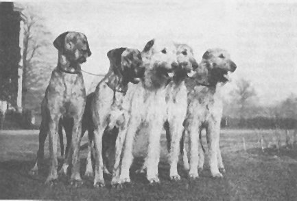 Great Danes & Irish wolfhounds