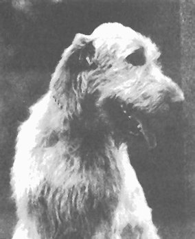 head of Irish wolfhound