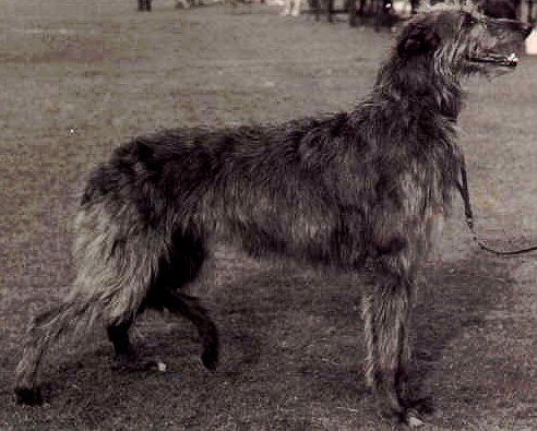 Deerhound bitch