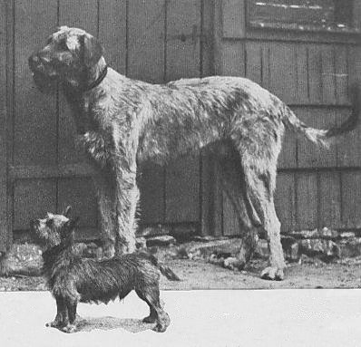Wolfhound and Cairn Terrier