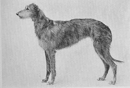 how to draw : irish wolfhound (page 2)
