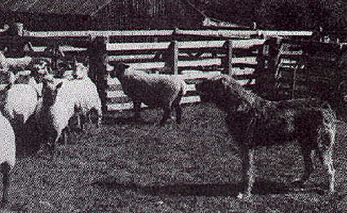 Finn penning sheep
